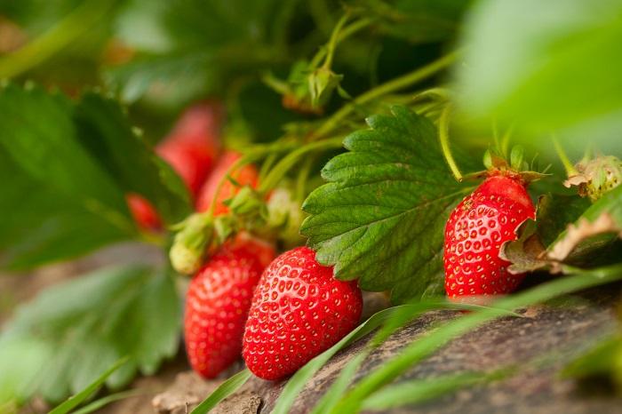 Fresh red strawberries still on the vine.