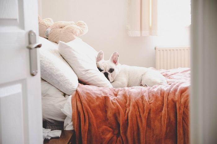 Little Frenchie laying on the bed into a pillow.